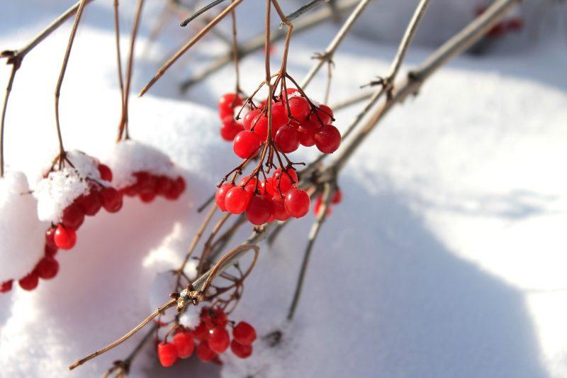 калина на снегу