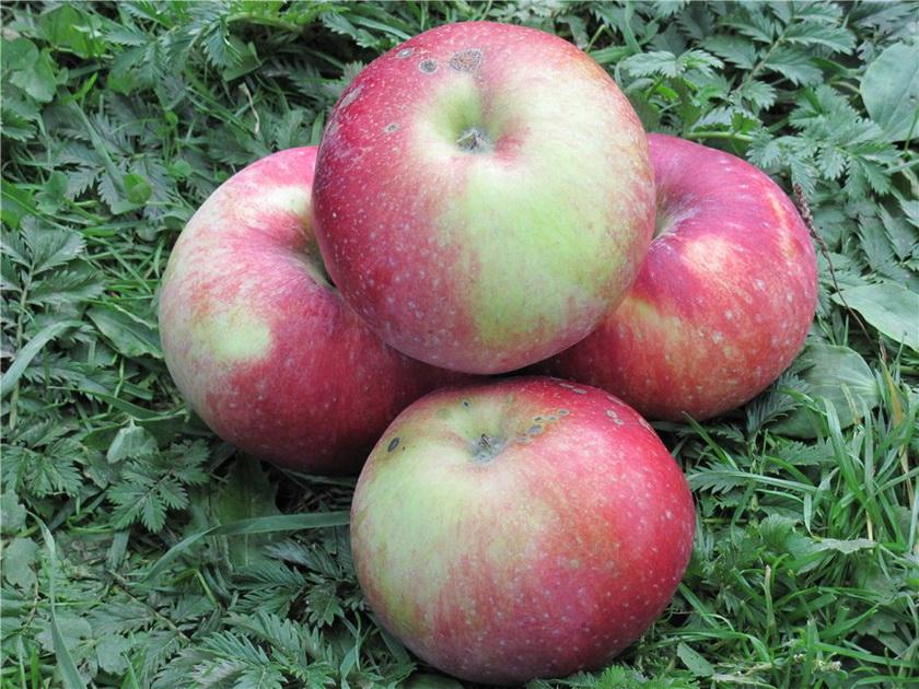 Антей яблоня