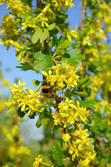 цветок крыжовника опыляет пчела