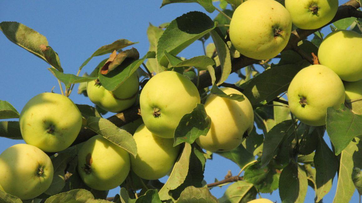 Белый налив яблоня