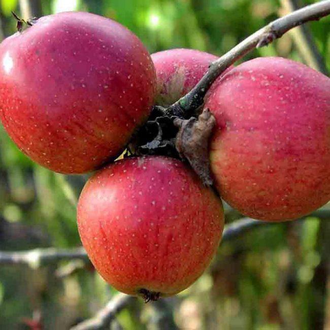 Беркутовское яблоня