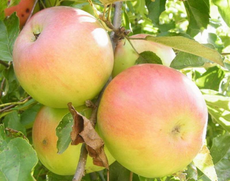 Имрус яблоко