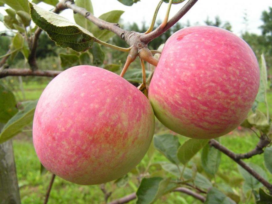 Конфетное яблоня