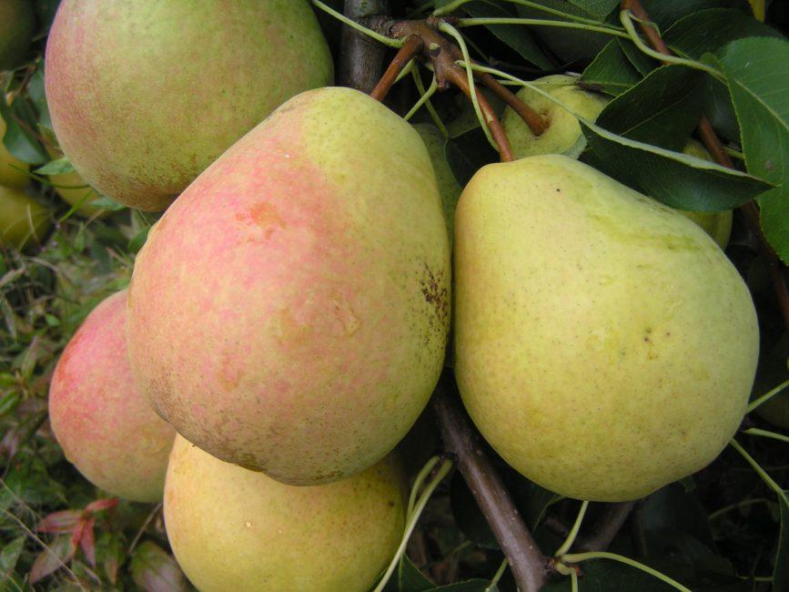 Велеса груша