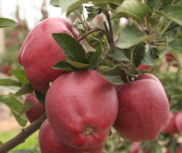 Старкримсон яблоня