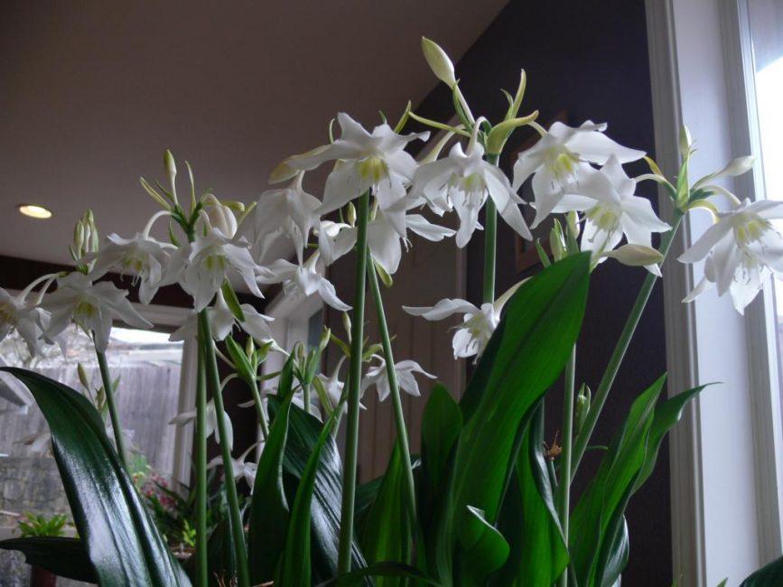 Эухарис — комнатная лилия