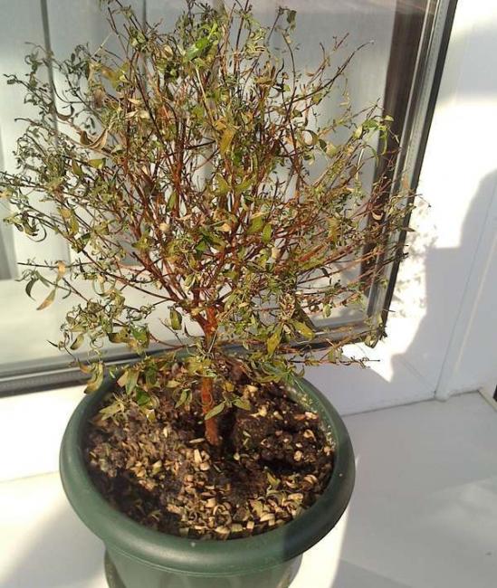 Наглядный пример, как растение начинает засыхать.