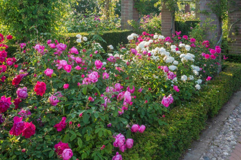 мнению фото цветников с розами остина них являются танцовщиками