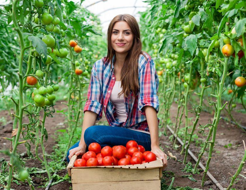 девушка в теплице с урожаем томатов