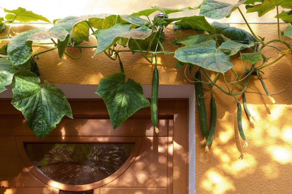 плоды огурцов на входной дверью