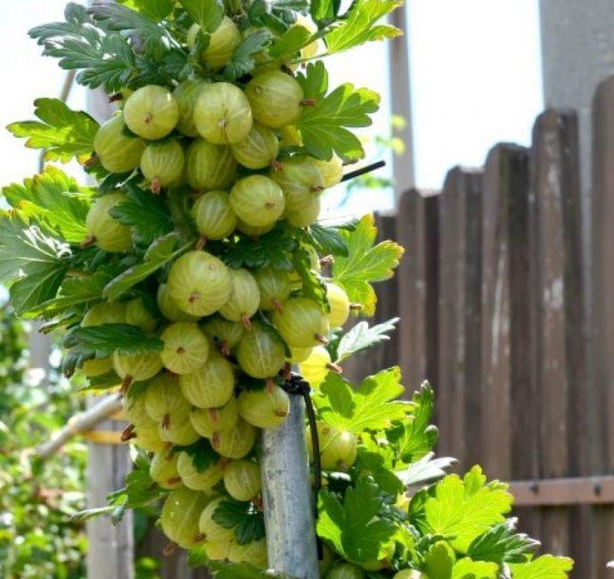 Ветка крыжовника покрытая ягодами