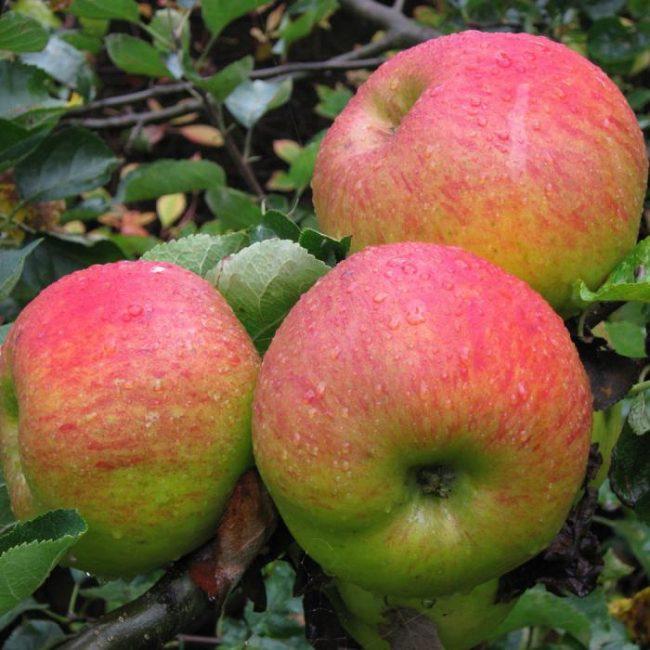 Орловское яблоня
