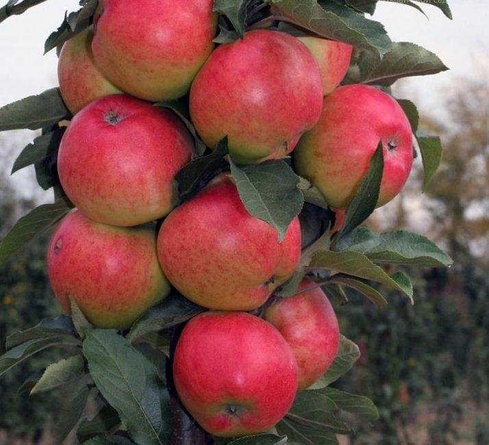 Валюта яблоня