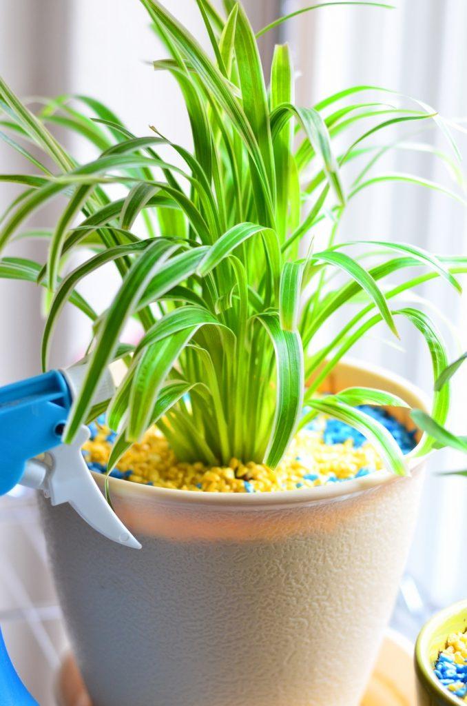 Уход за хлорофитумом в домашних условиях: полив, пересадка 4