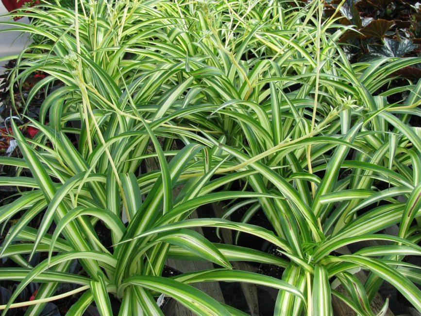 Молодые растения размноженные делением куста