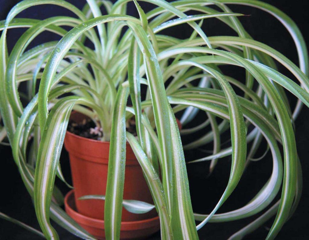 Фото домашних цветов хлорофитум