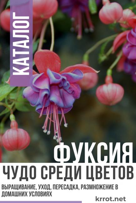 Фуксия - Чудо среди цветов
