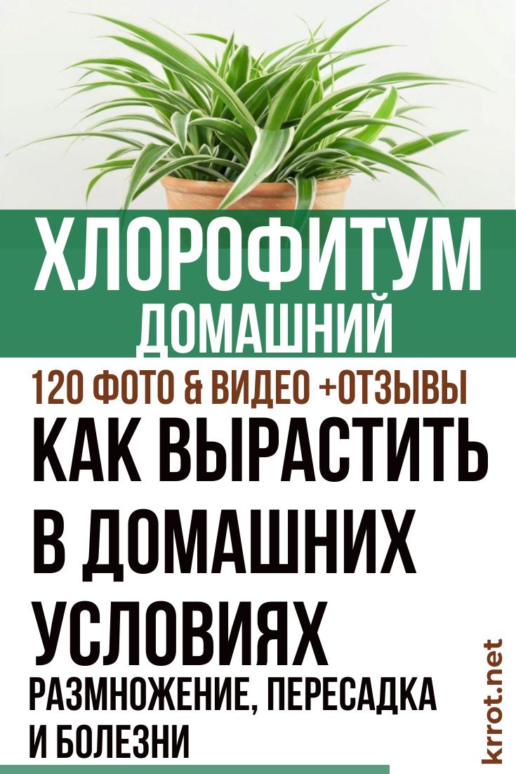 Хлорофитум хохлатый 30 фото уход за цветком в домашних условиях сорт Vittatum - чемпион по очистке воздуха