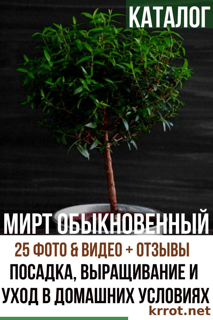 Мирт (Myrtus). Описание, виды и уход за миртом