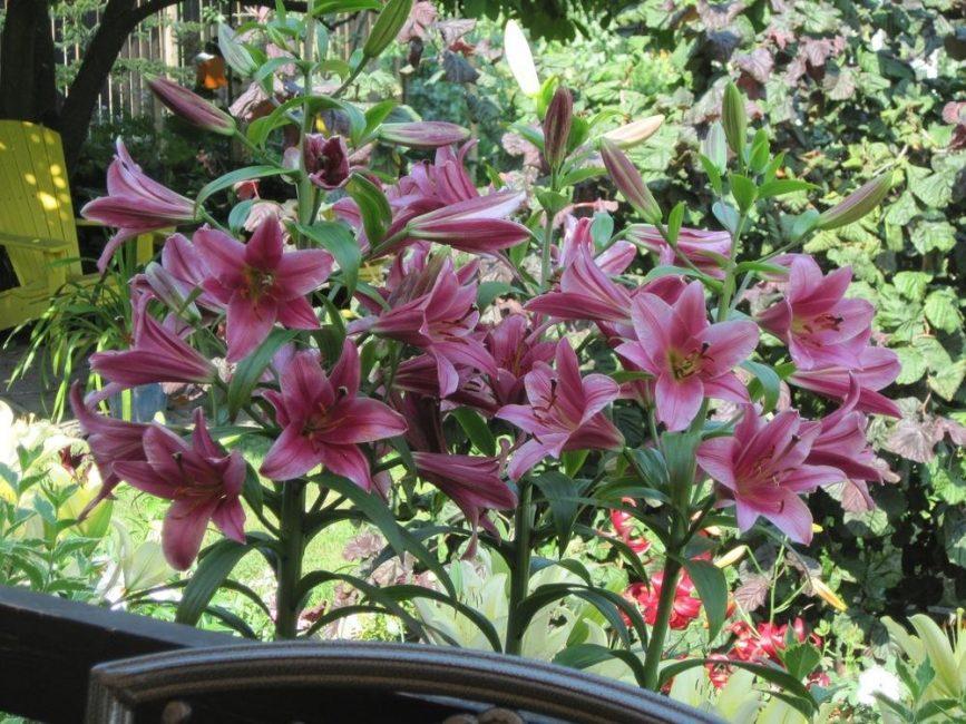 Purple Prince lily