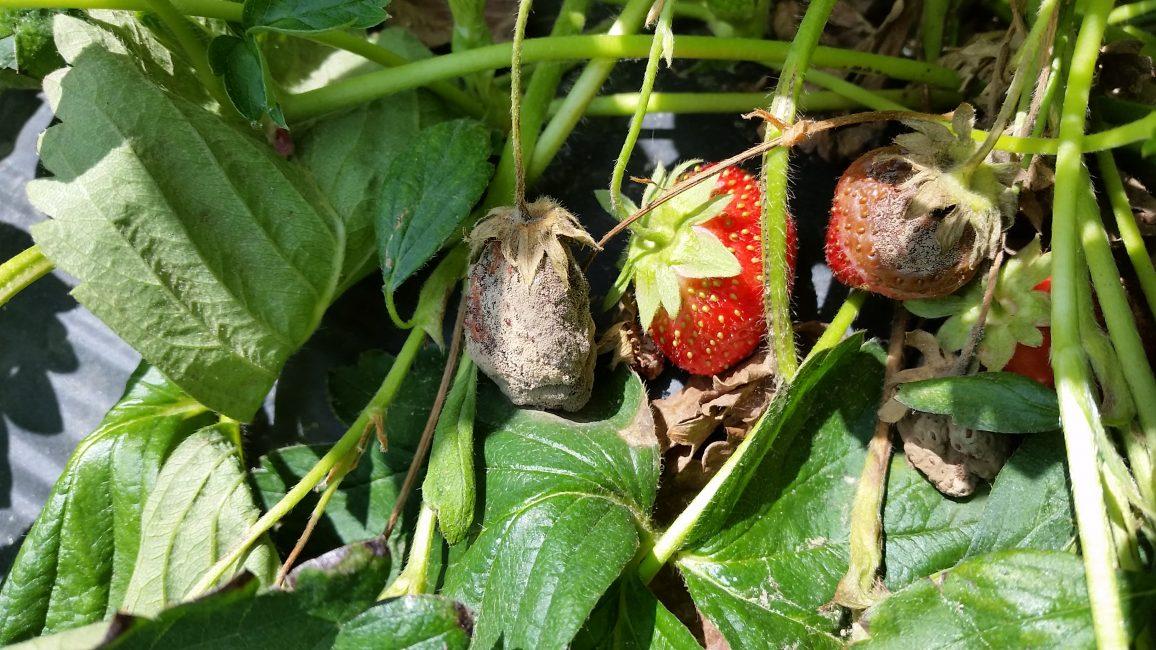 Загнивание плодов от чрезмерной влажности клубника
