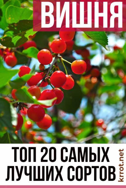 Лучшие сладкие сорта вишни: посадка и уход