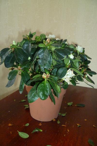 азалия сбрасывает листья
