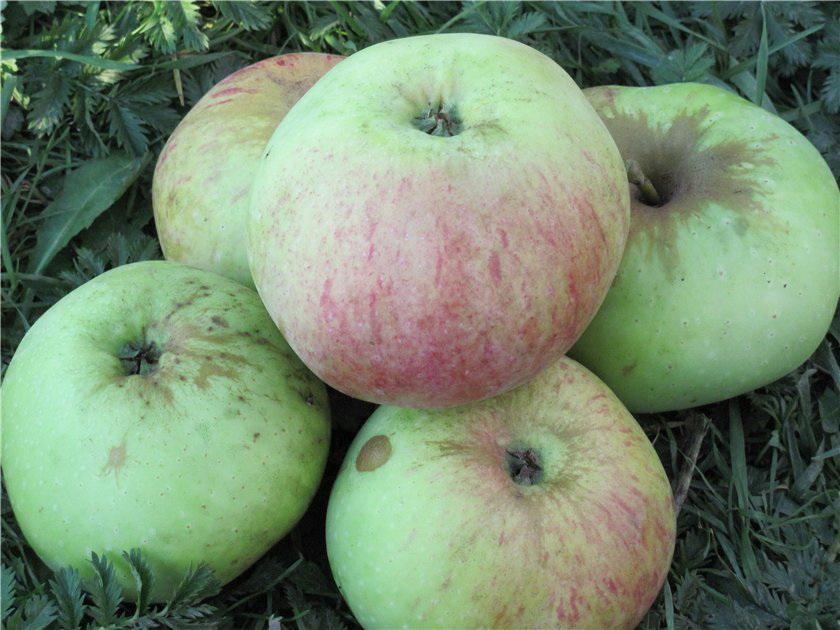 Богатырь яблоня