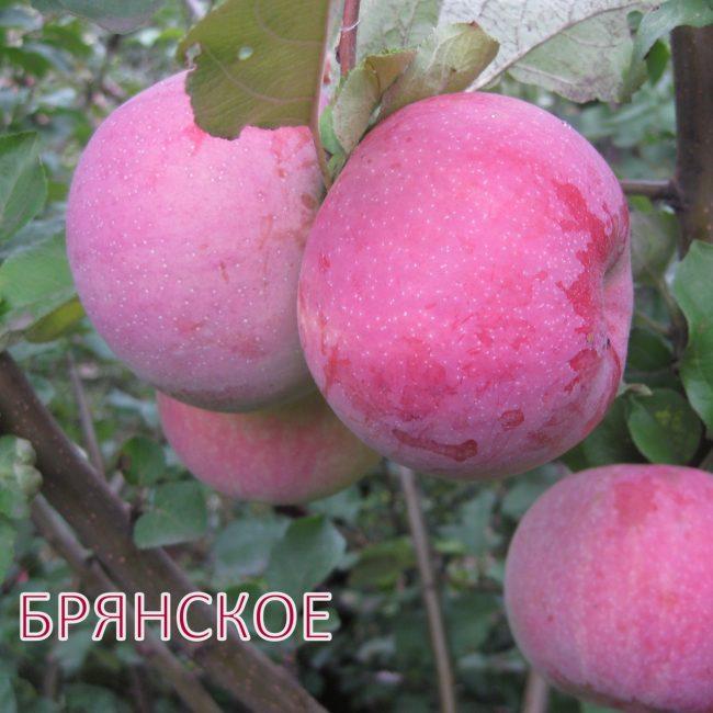 Брянское яблоко