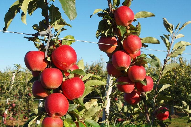 Гала маст яблоня