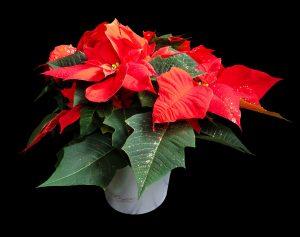 Пуансетия красная – уход в домашних условиях. Как ухаживать за «рождественской звездой» после покупки? (Фото & Видео) +Отзывы