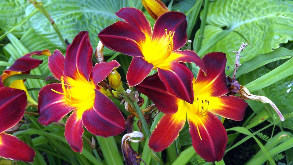 Самые лучшие сорта трубчатых лилий