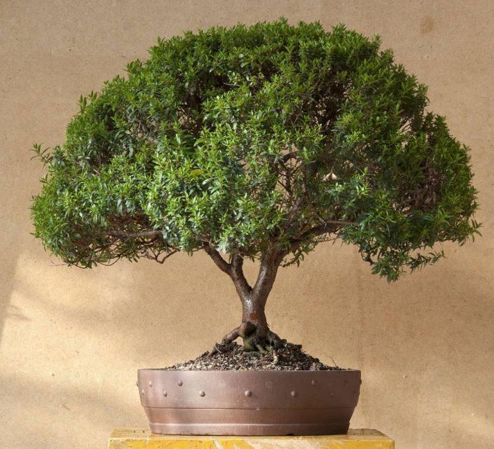 Взрослое и ухоженное дерево мирта.