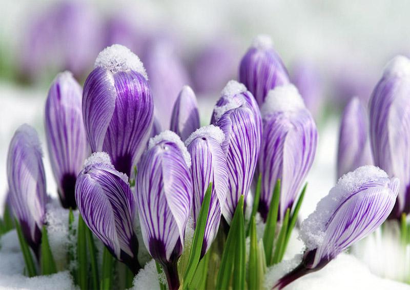 цветущие цветы под снегом