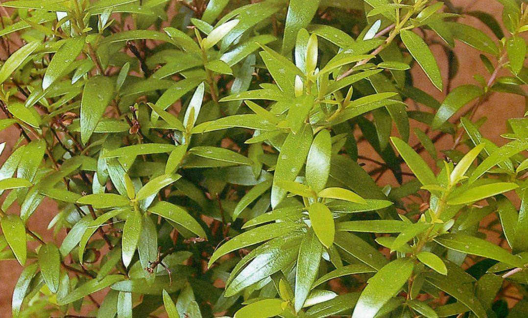 Именно так выглядят листики данного растения