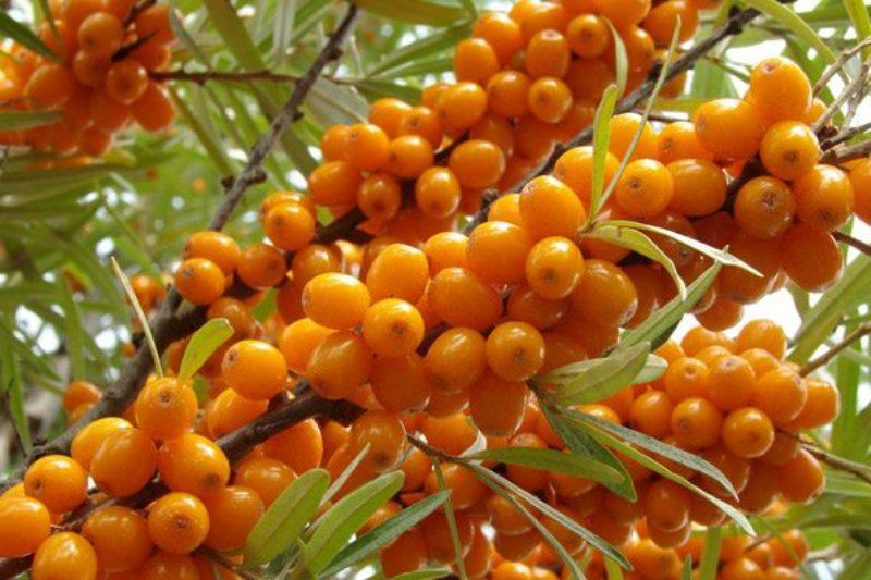 Спелые ягоды облепихи