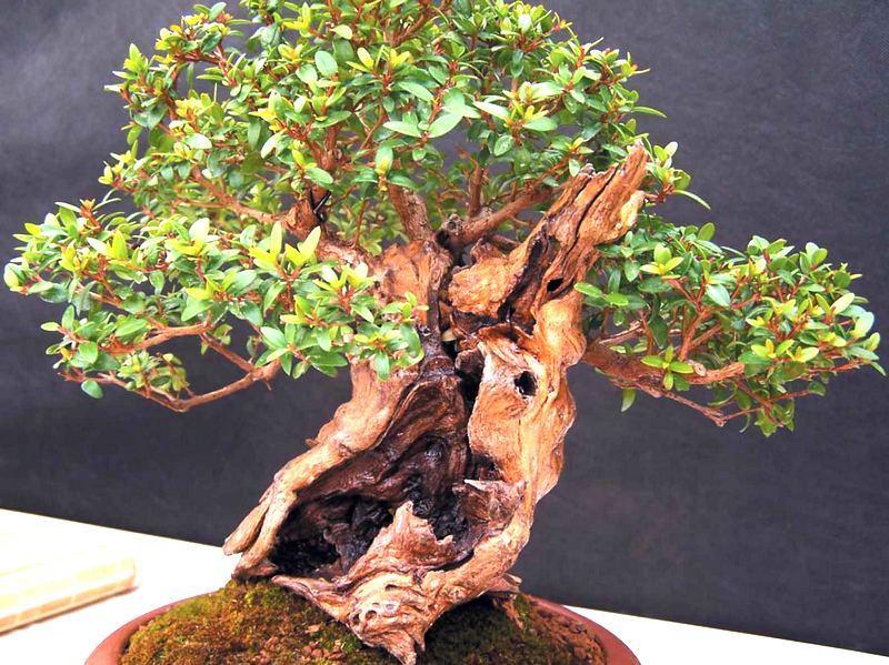 Взрослое растение необычной формы. По фото видно, что дерево пережило многое.