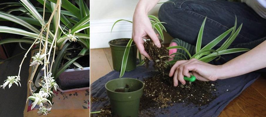 Размножение цветка розетками и размножение путем деления корней на отдельные кусты