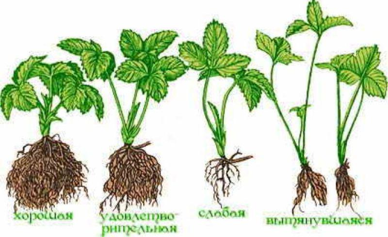 Примеры развития корневой системы