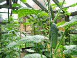 выращивание огурцов в теплице