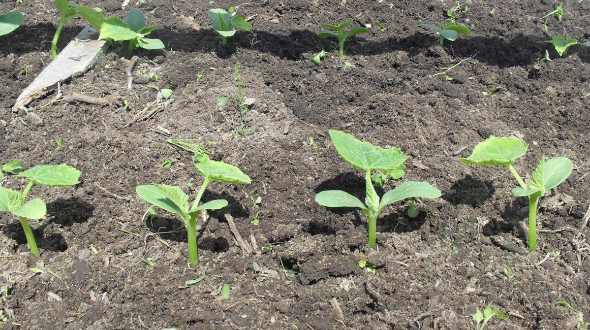 Высаживание овощной культуры