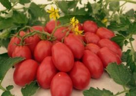 Чио-Чио-сан сорт томатов
