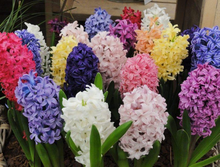 Гиацинты цветы