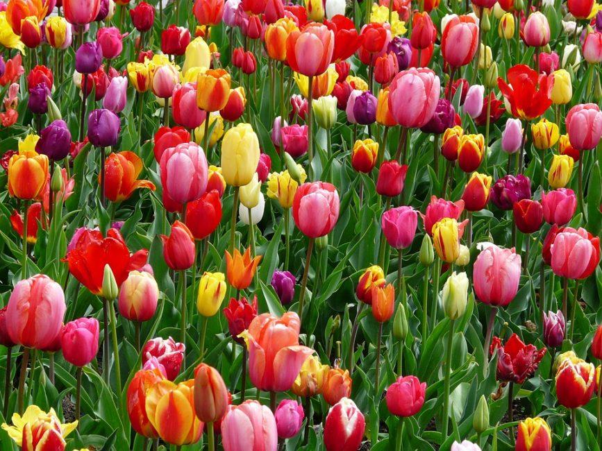 Цветочный массив из тюльпанов разных сортов