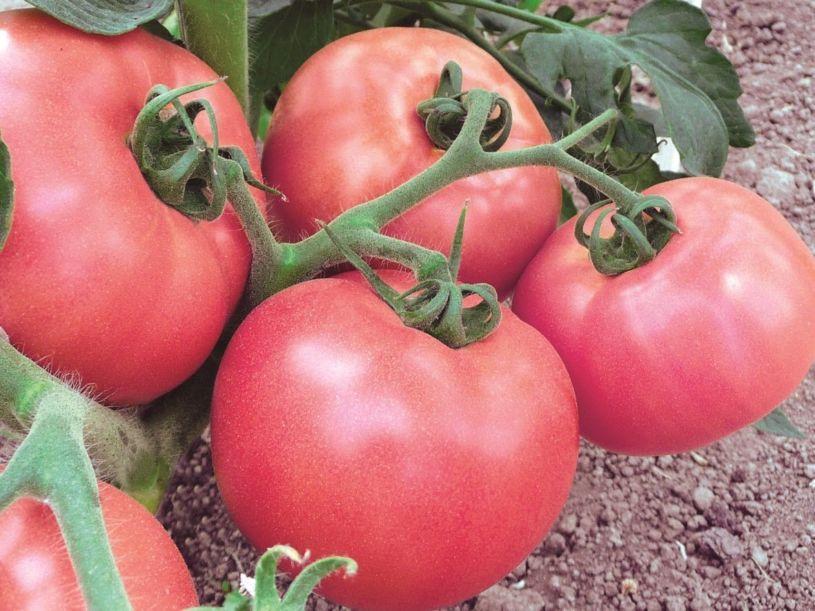 Розмарин сорт томатов