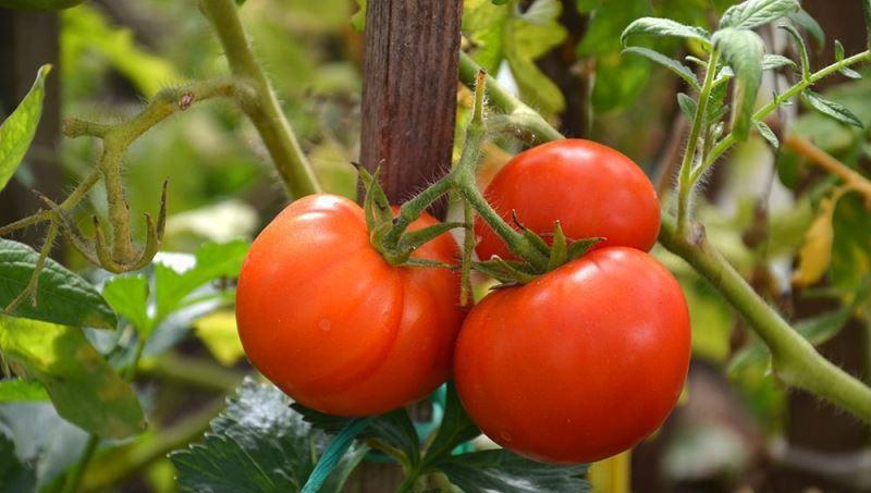 Колхозный сорт томатов