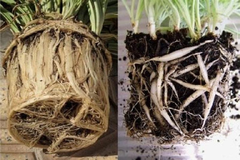 Разросшиеся корни не позволяют растению развиваться