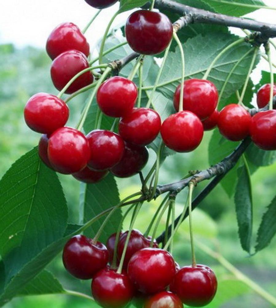 Сорт вишни Любская: фото, отзывы, описание, характеристики