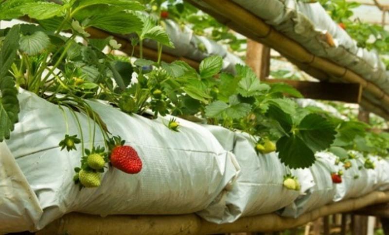 Выращивание клубники в полиэтиленовых мешках