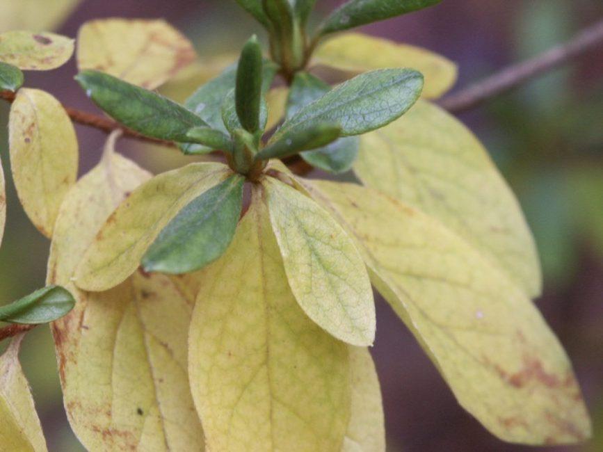 желтеют листья азалии